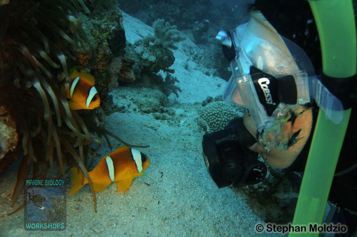 8 Marine life - Amphiprion bicinctus & diver DSC01956