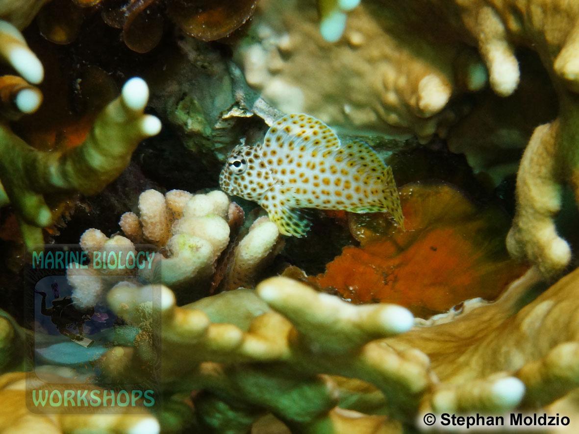 8 Marine life - DSC03766-Exallias-brevis-cSM