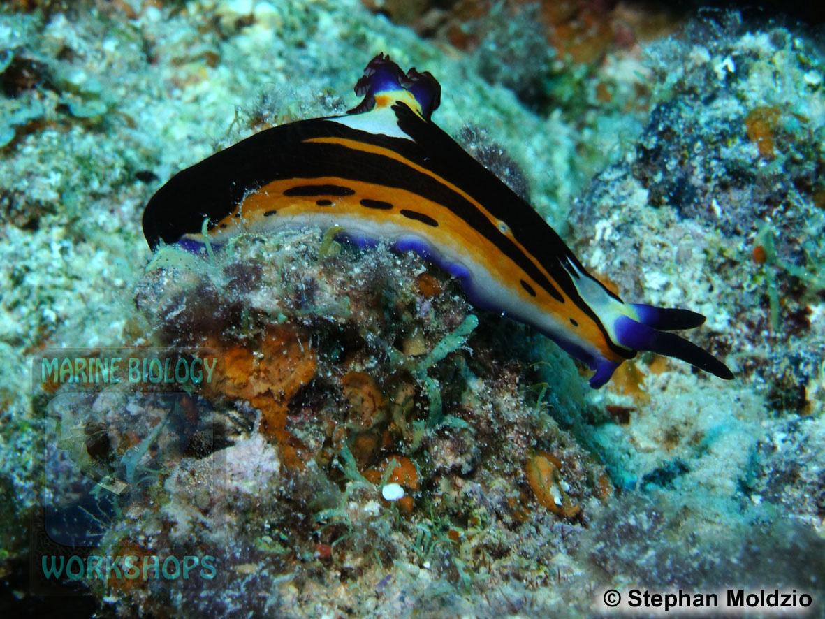 8 Marine life - DSC03837-Nembrotha-megalocera-cSM