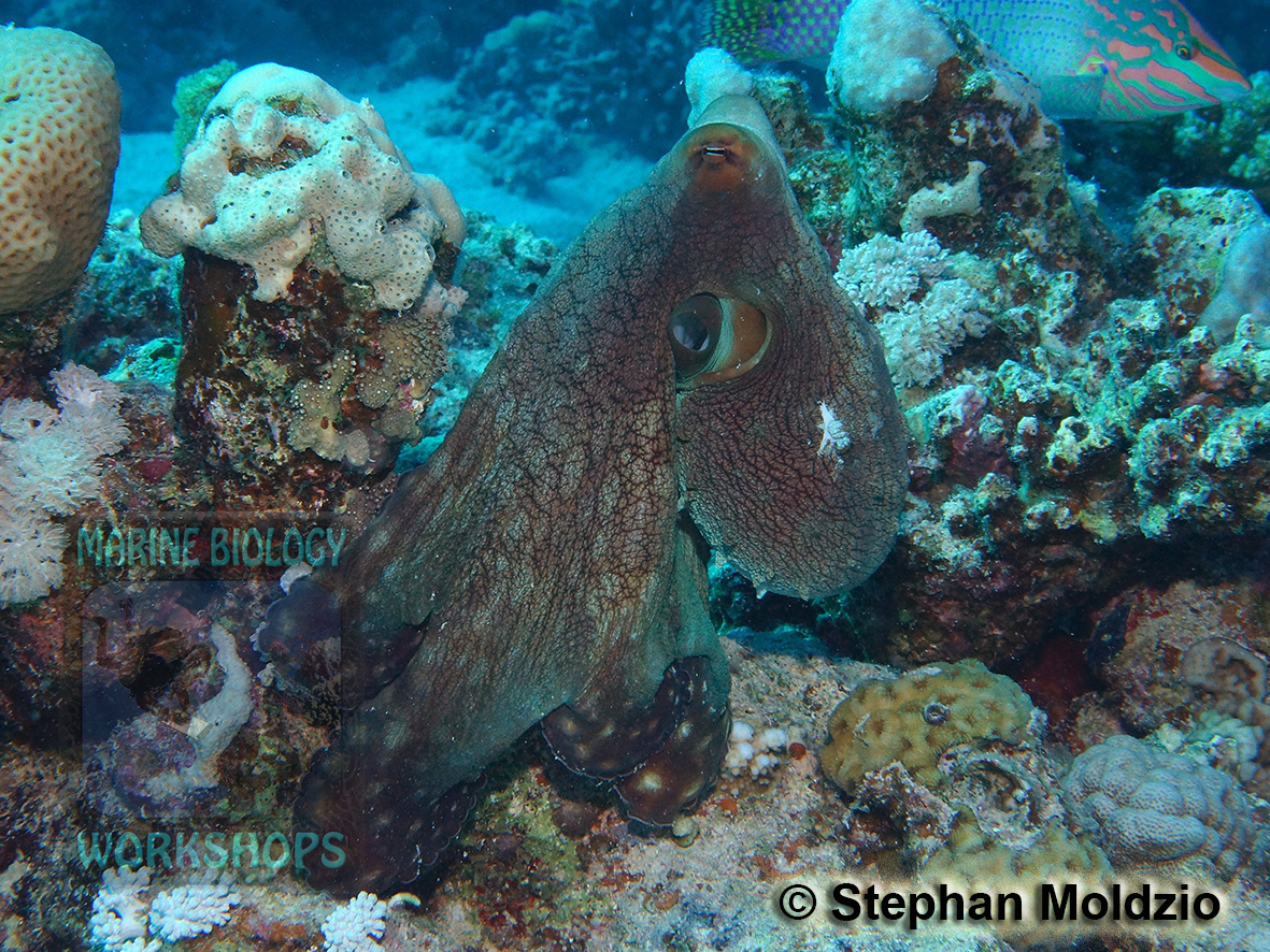 8 Marine life - DSC06388 Octopus cyaneus