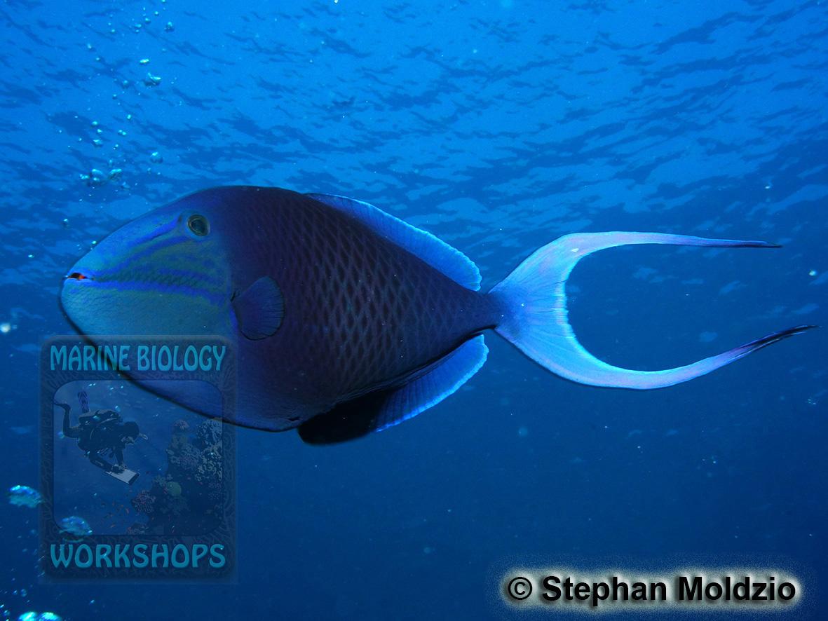 8 Marine life - DSC06582 Odonus niger