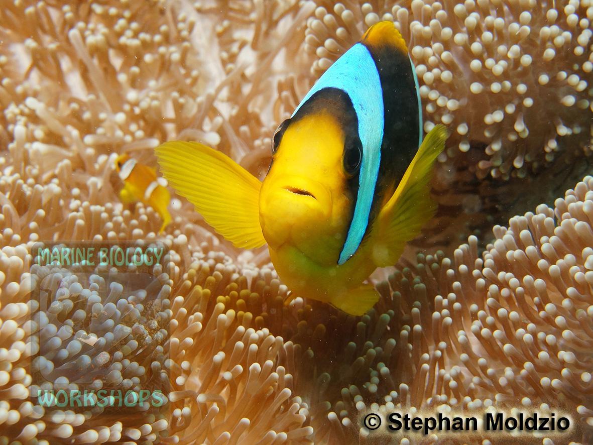 8 Marine life - DSC06753 Amphiprion bicinctus