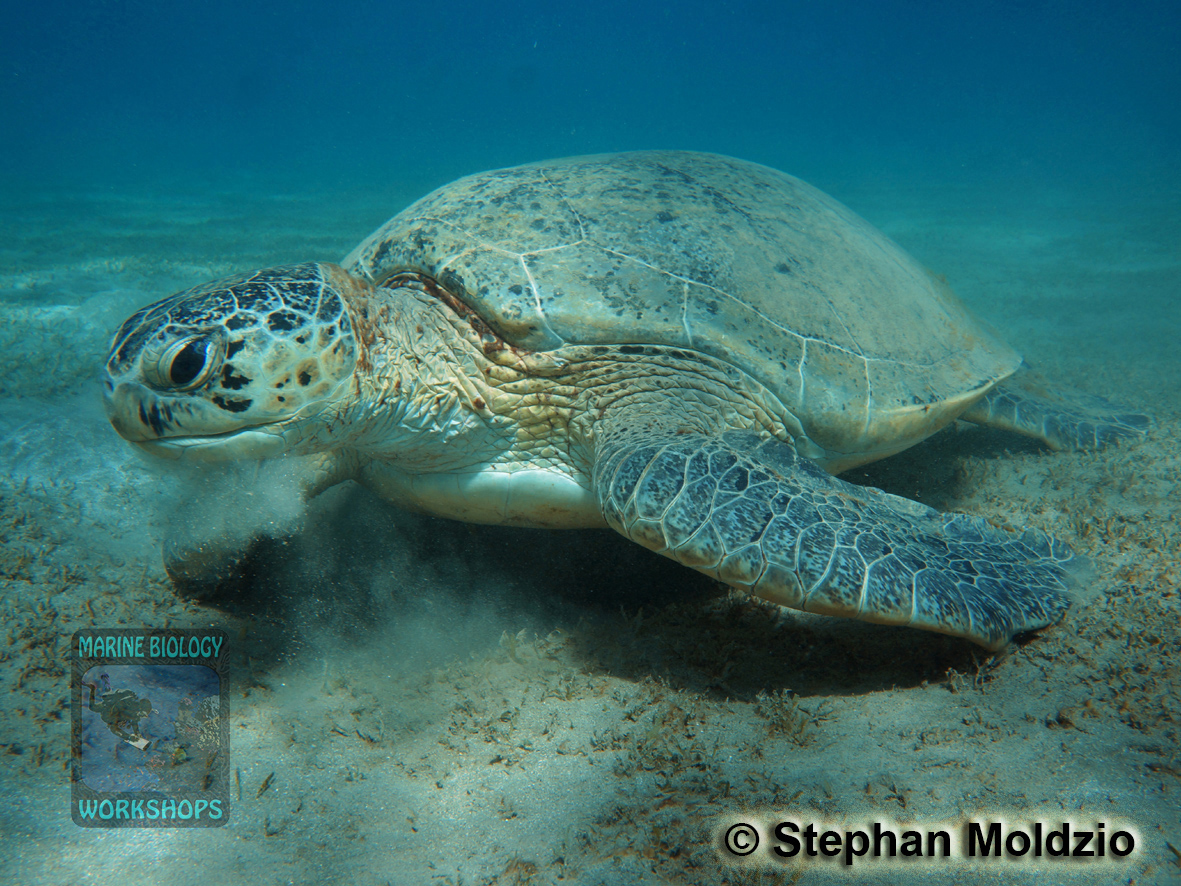 8 Marine life - Green Turtle