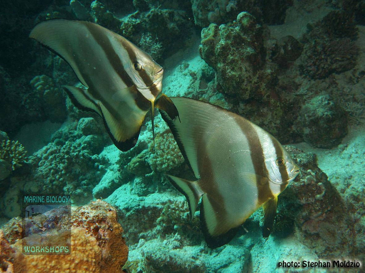 8 Marine life - Platax-orbicularis_DSC04676
