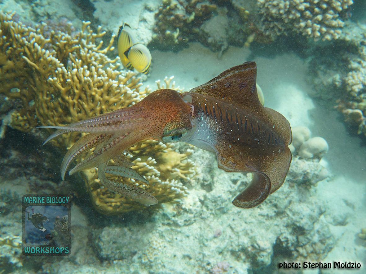 8 Marine life - Sepiotheutis-lessoniana