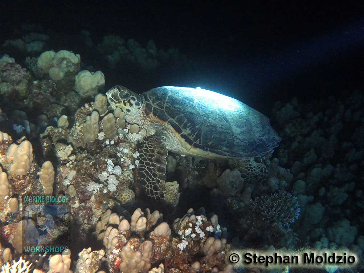 9 Night dives - Hawksbill Turtle