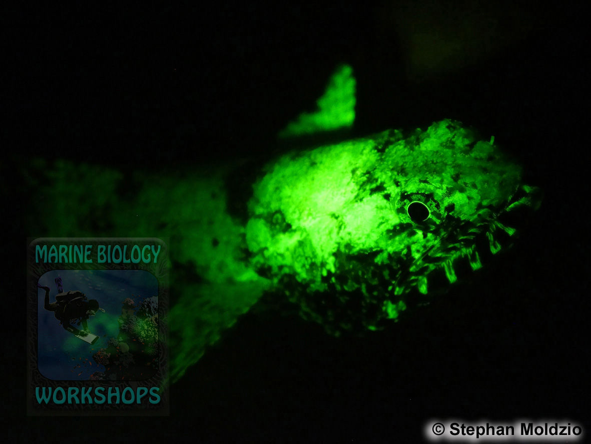 9 Night dives - Lizardfish UV light