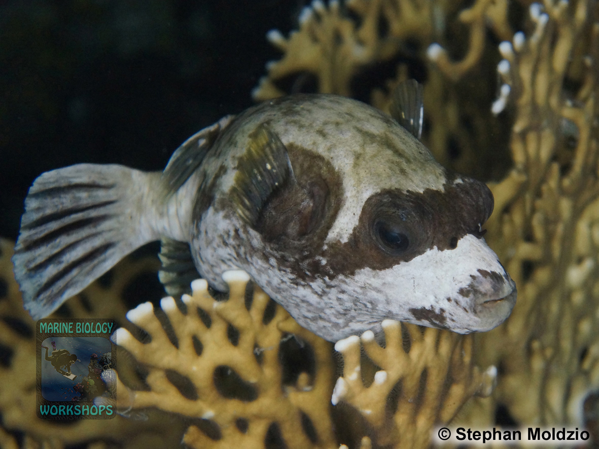 9 Night dives - Masked Puffer