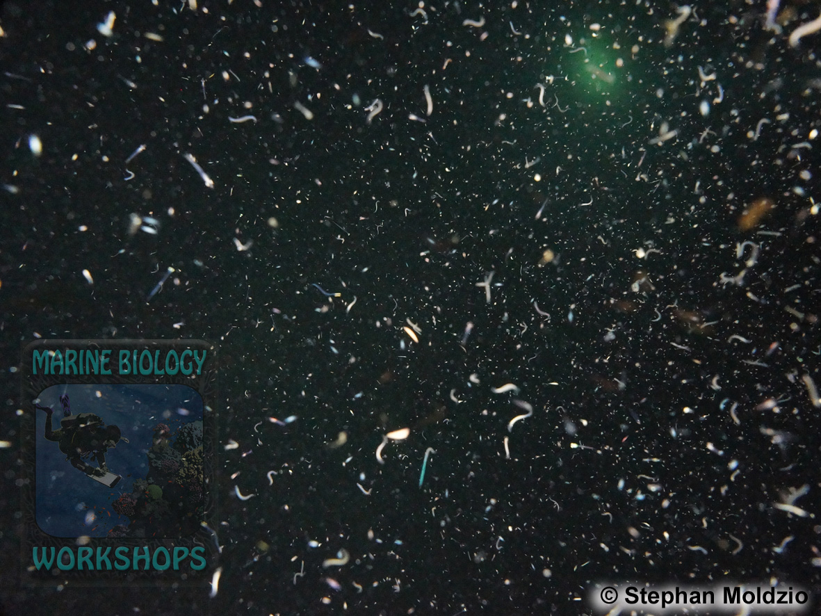 9 Night dives - plankton DSC05706