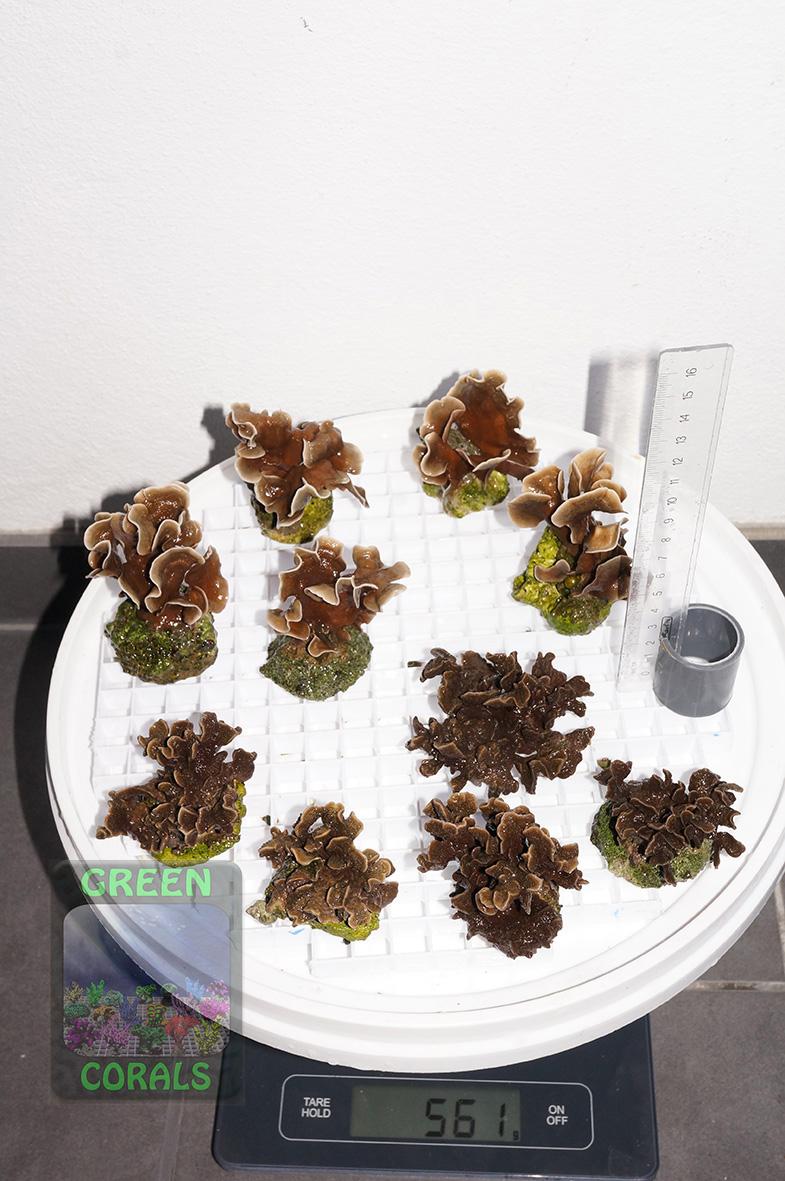 5 Pavona cactus `beige´ P. decussata `braun´ DSC09820