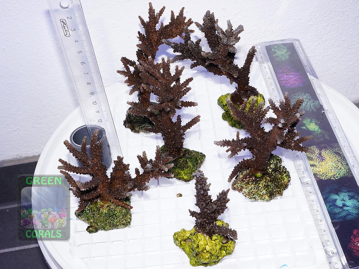 Acropora sp. blau b