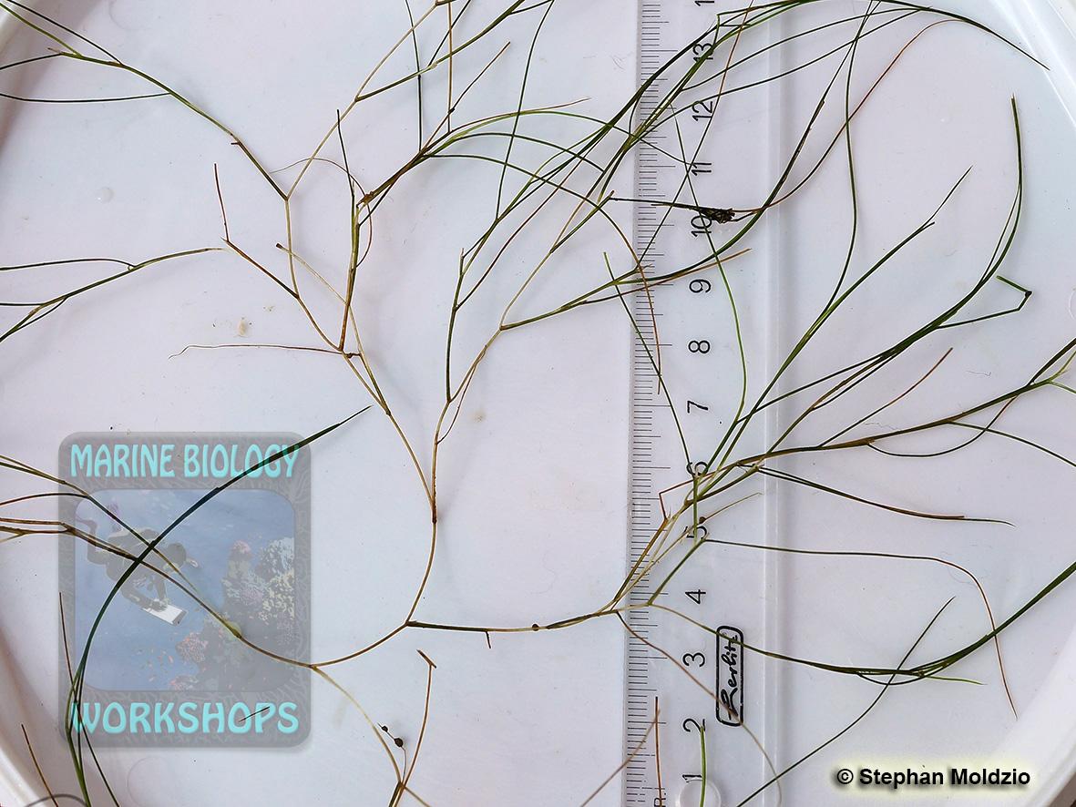 DSC07028 Haarblättriges Laichkraut - Potamogeton trichoides