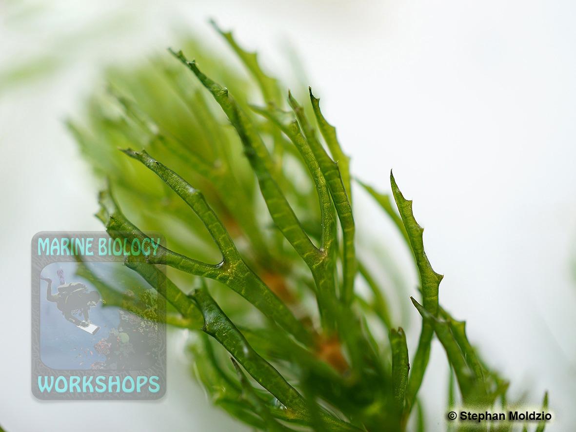 DSC07036 Rauhes Hornblatt - Ceratophyllum demersum