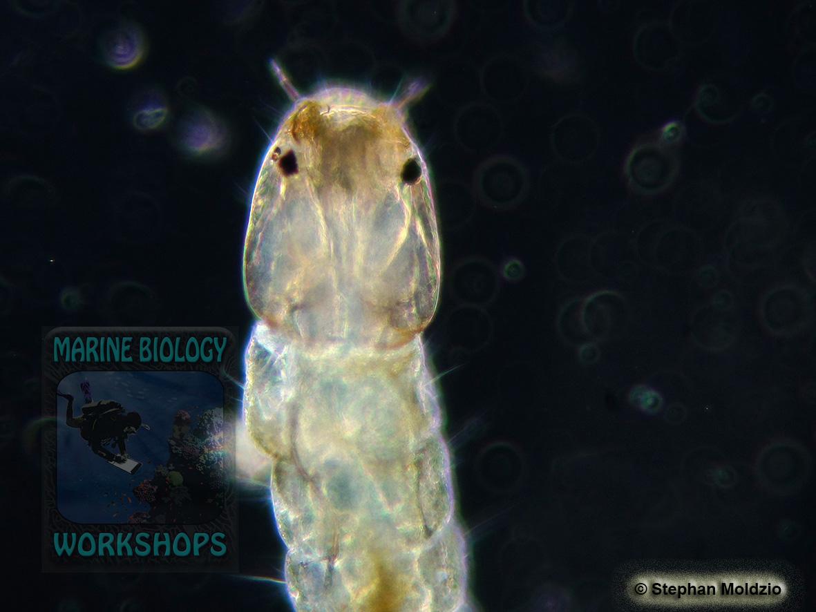 DSC07088 Mückenlarve - Diptera