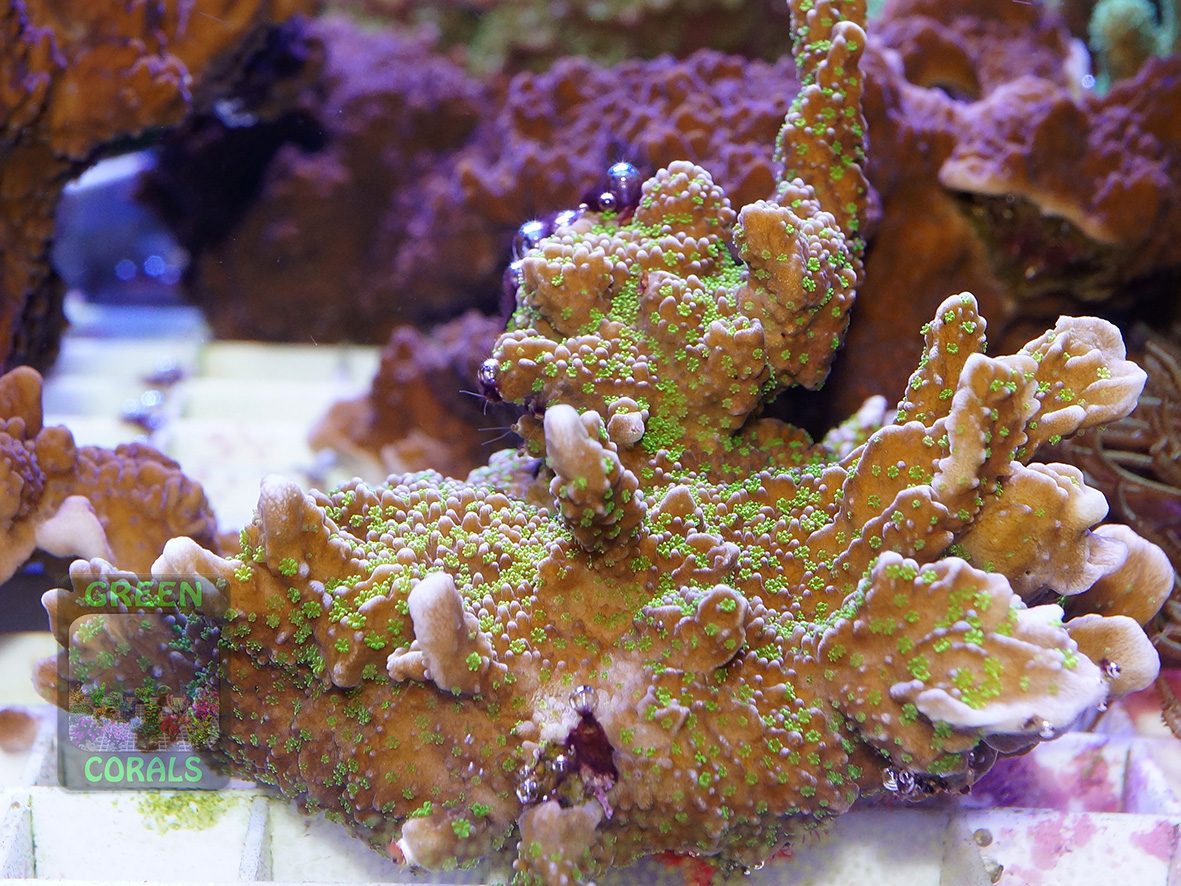 Montipora sp.13 `green polyps´ DSC06865