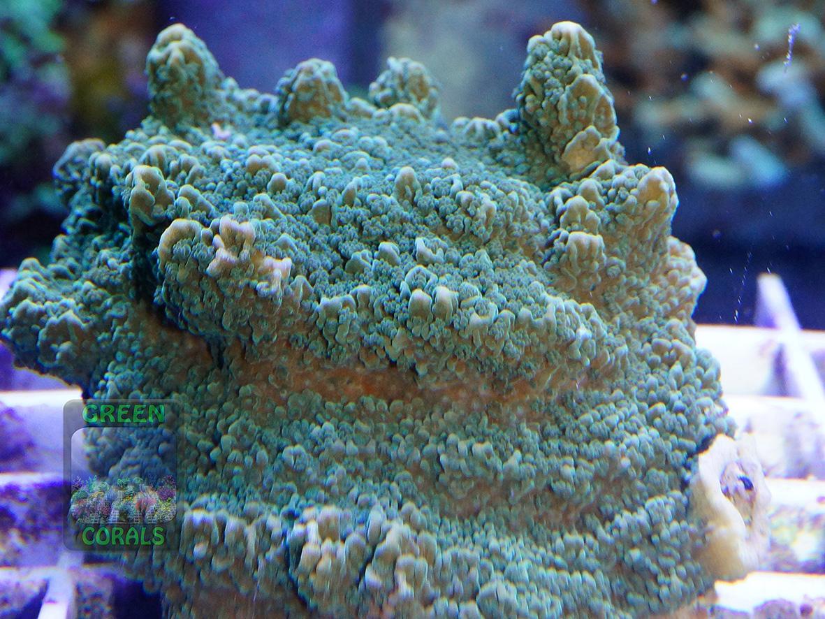 Montipora sp.6 `green plate_DSC01233