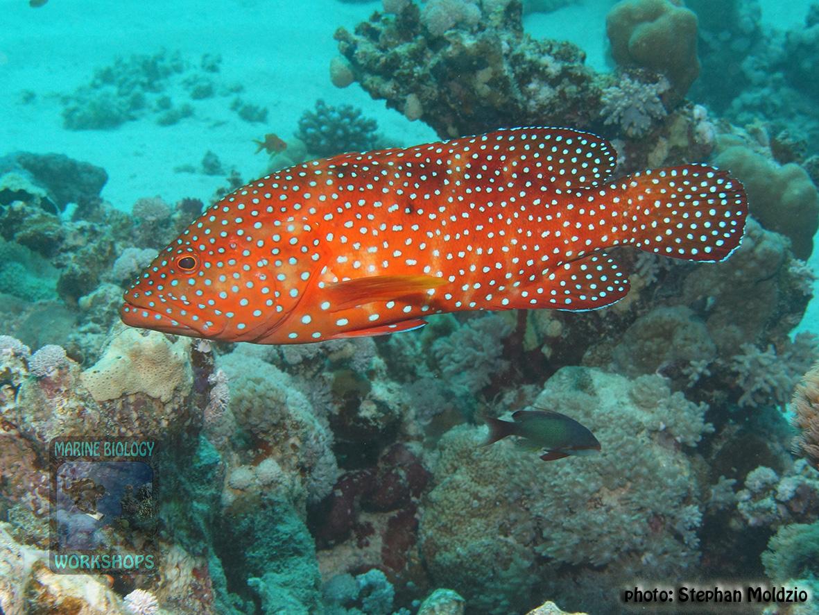 10 Fish survey - Cephalopholis miniata DSC01833