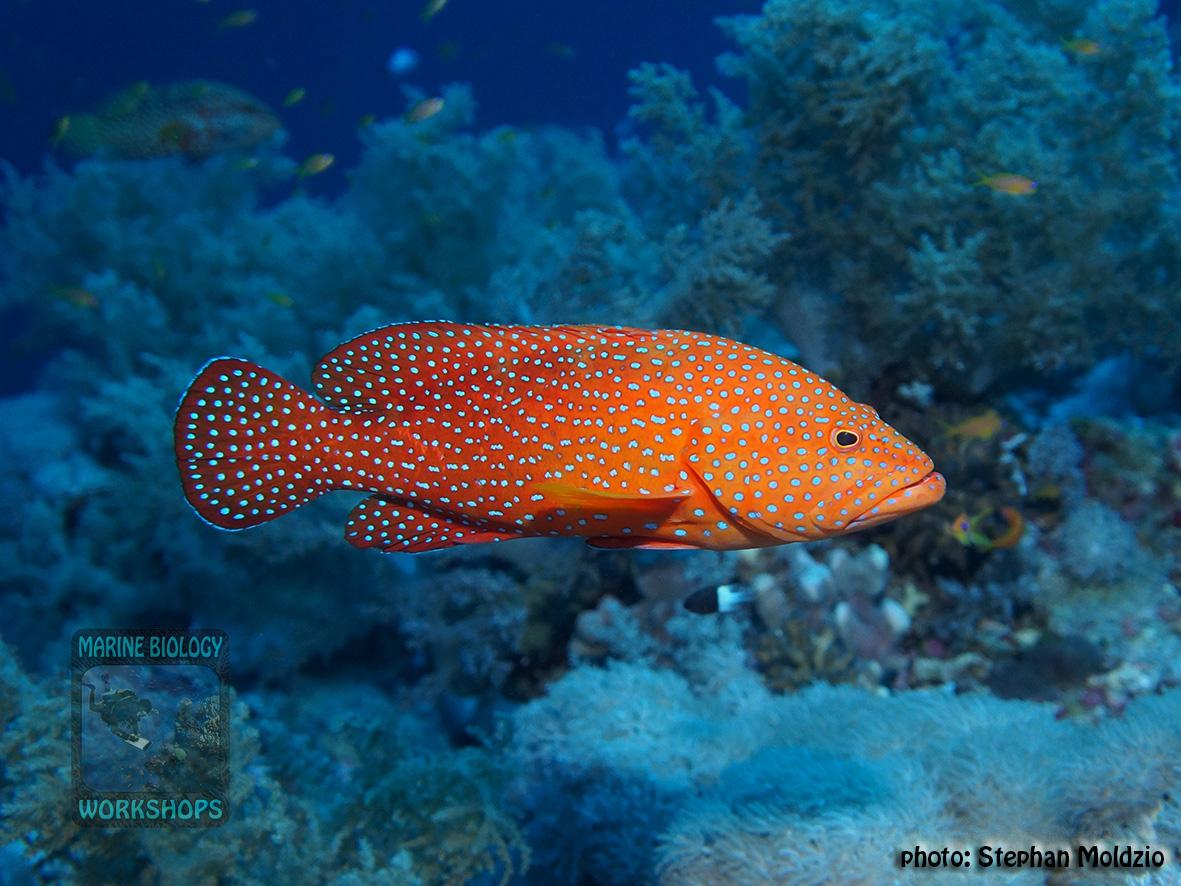 10 Fish survey - Cephalopholis miniata DSC07517