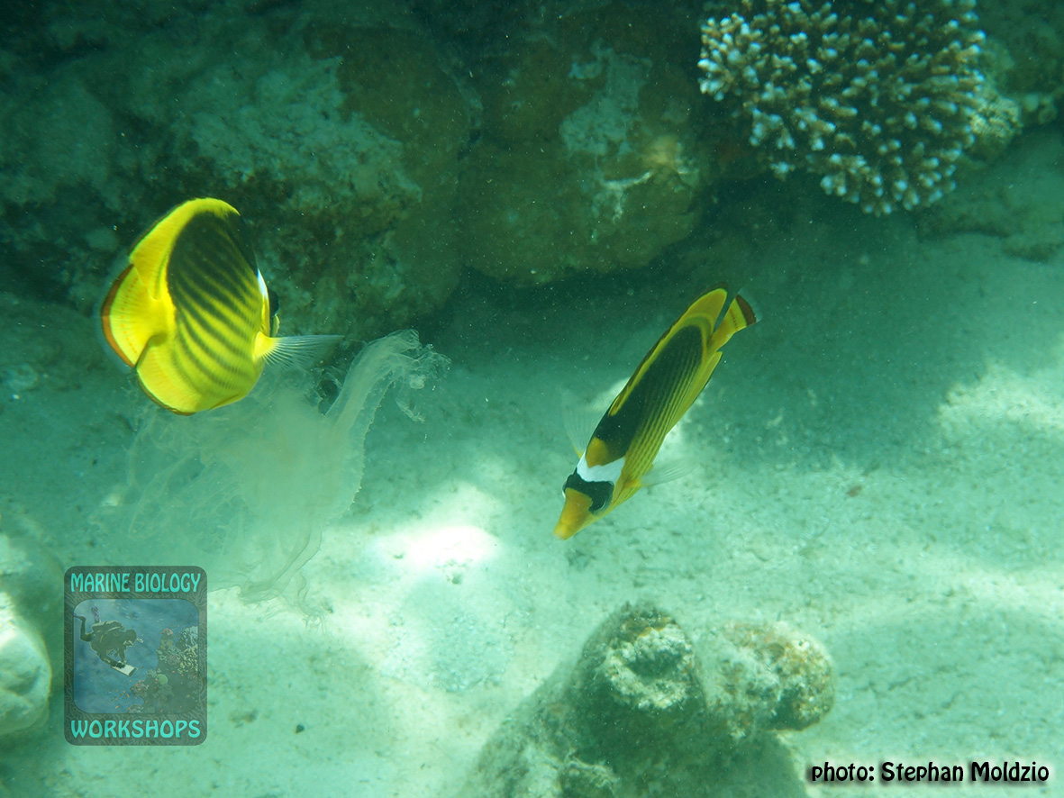 10 Fish survey - Chaetodon-fasciatus-feeding-on-jellyfish DSC04645