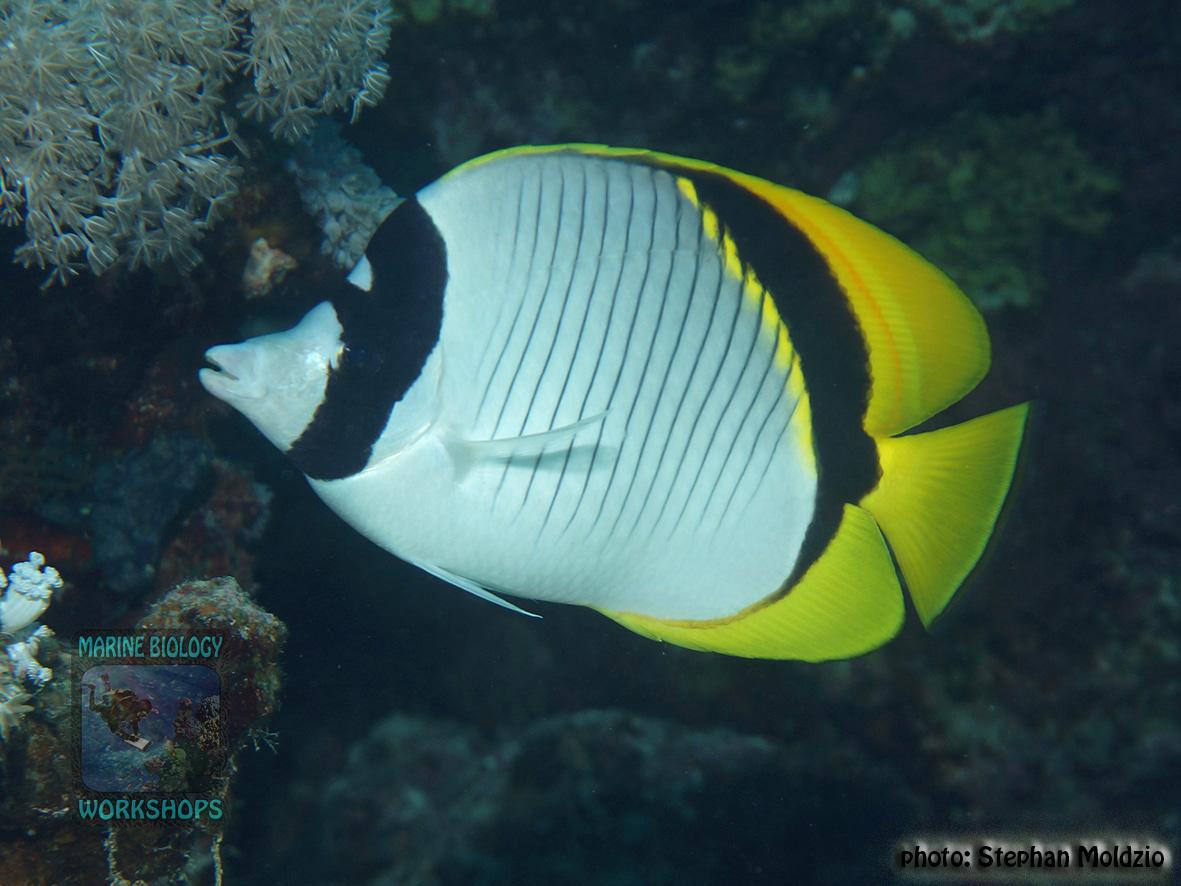 10 Fish survey - Chaetodon lineolatus DSC07719