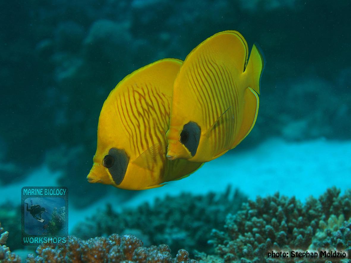 10 Fish survey - Chaetodon semilarvatus DSC08139