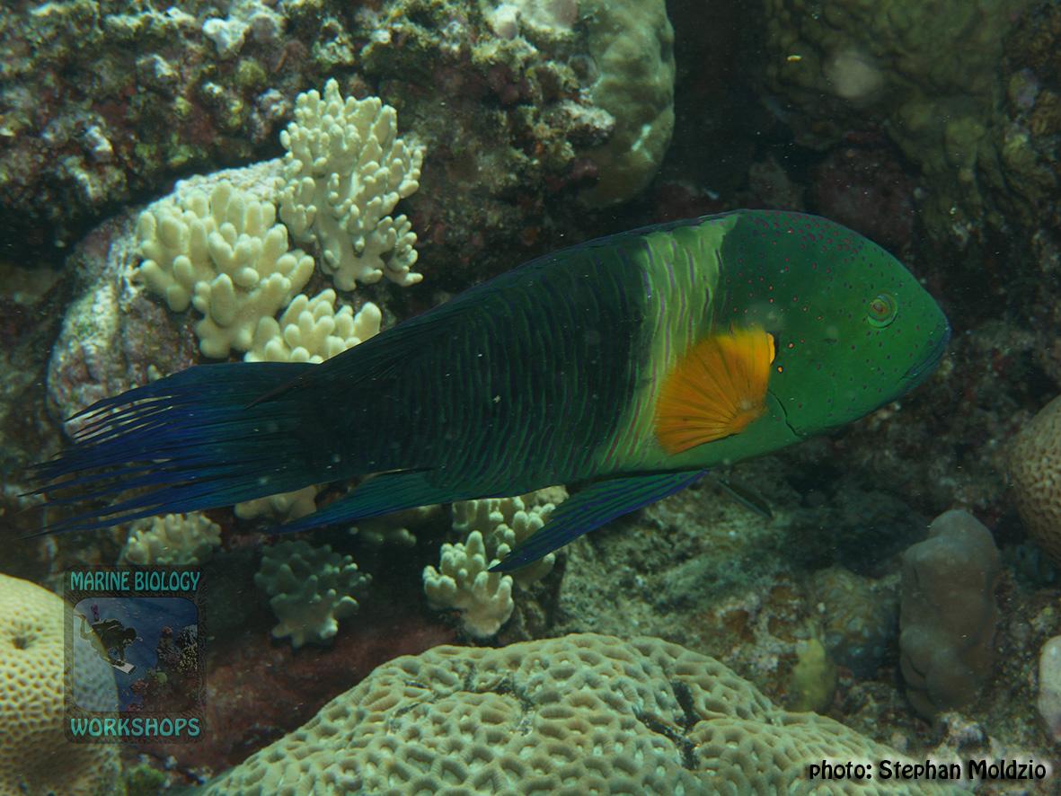10 Fish survey - Cheilinus-lunulatus,TP DSC04791