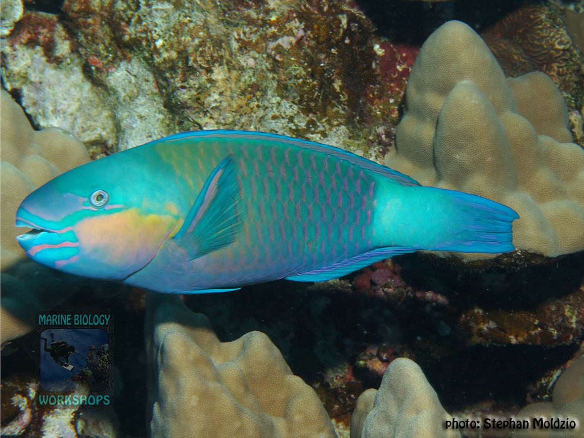 10 Fish survey - Chlorurus-sordidus,-TP DSC05072