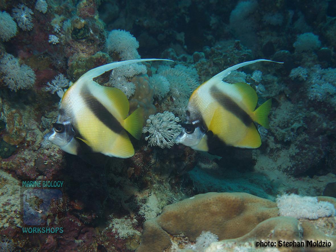 10 Fish survey - Heniochus intermedius DSC07739