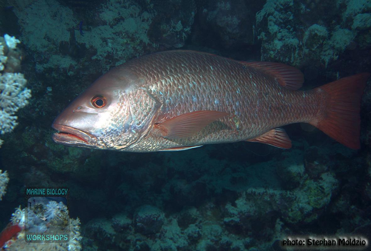 10 Fish survey - Lutjanus argentimaculatus DSC07728