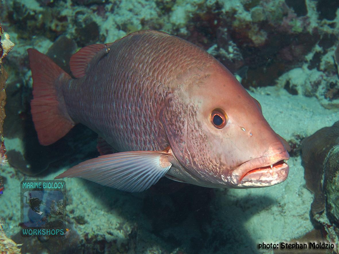 10 Fish survey - Lutjanus argentimaculatus DSC07851
