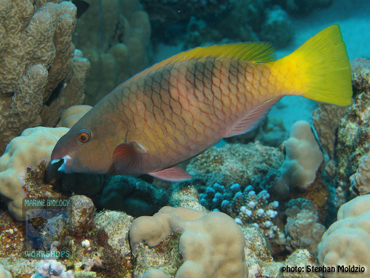 10 Fish survey - Scarus-ferrugineus,IP DSC05069