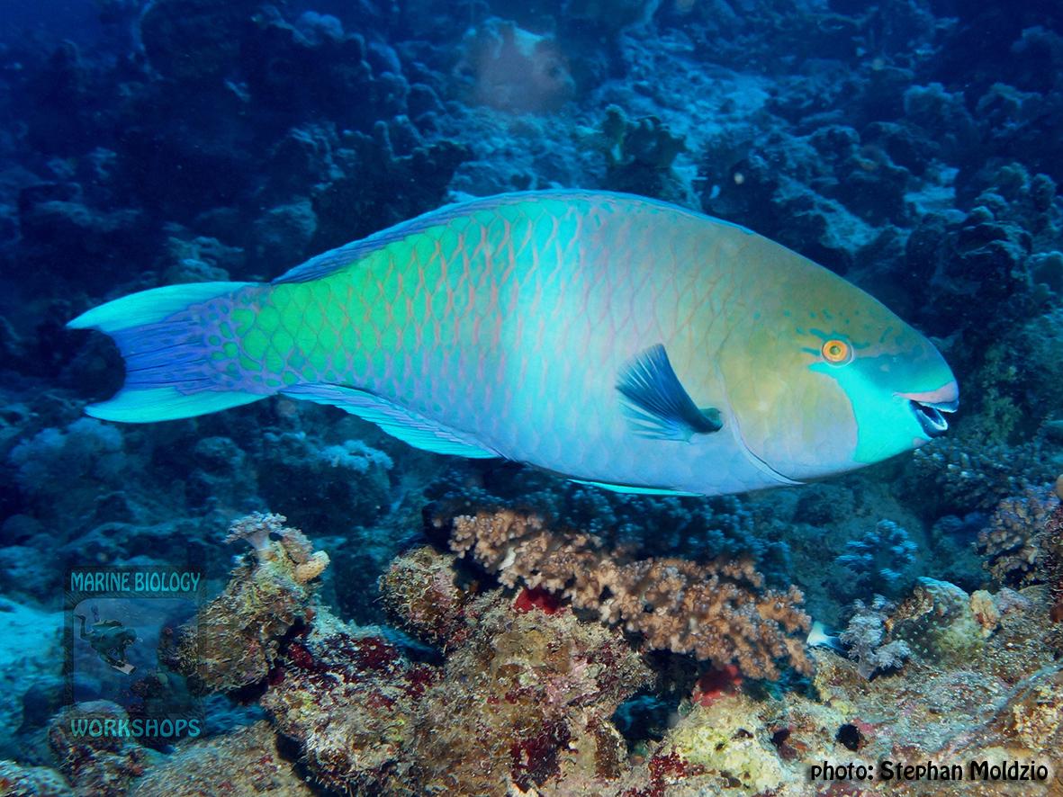 10 Fish survey - Scarus ferrugineus,m DSC06415