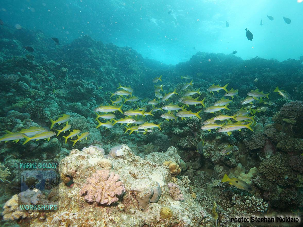 10 Fish survey - mullets&12snappers_DSC03145