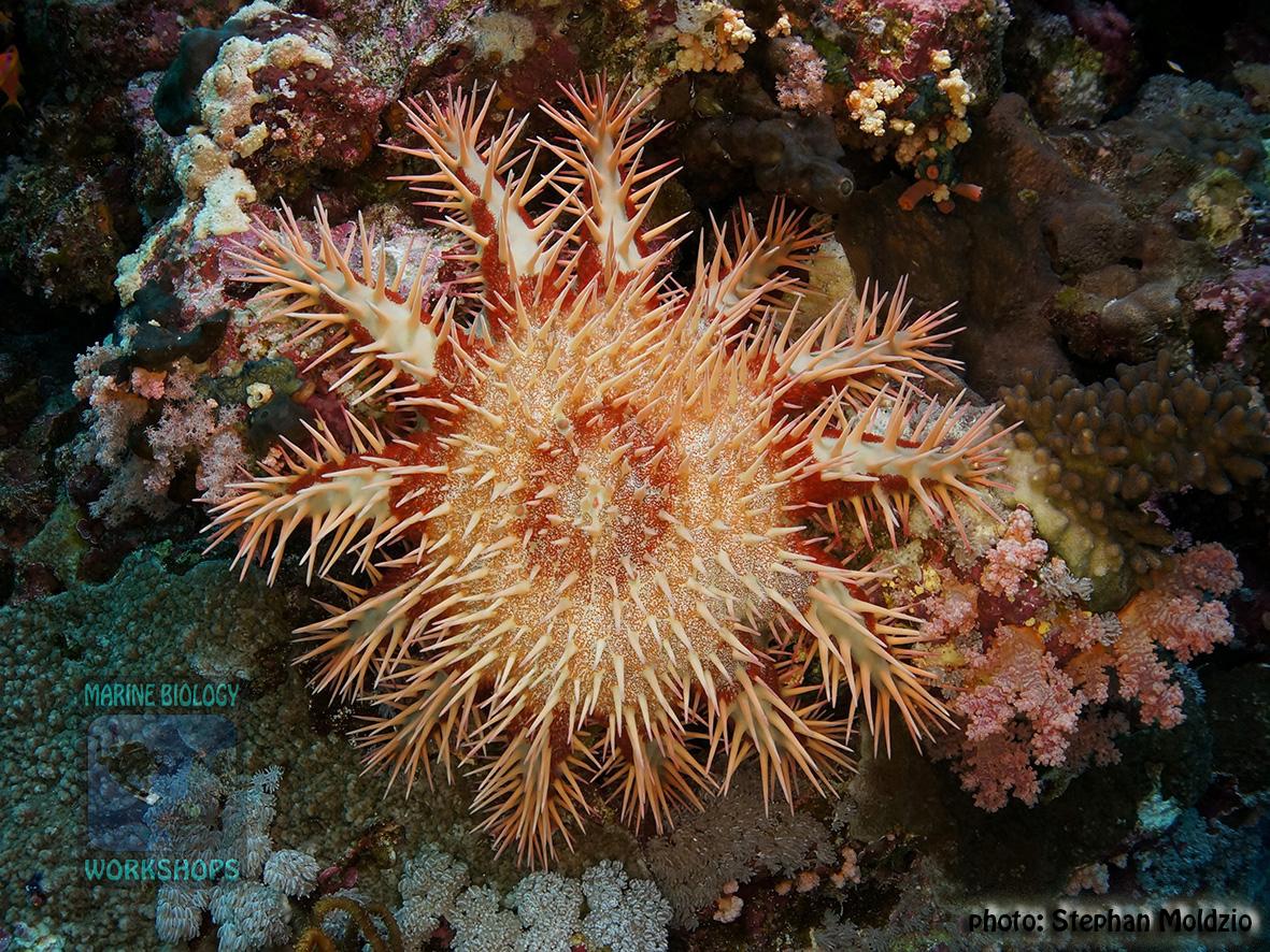 11 Invertebrate survey - Acanthaster planci DSC01368