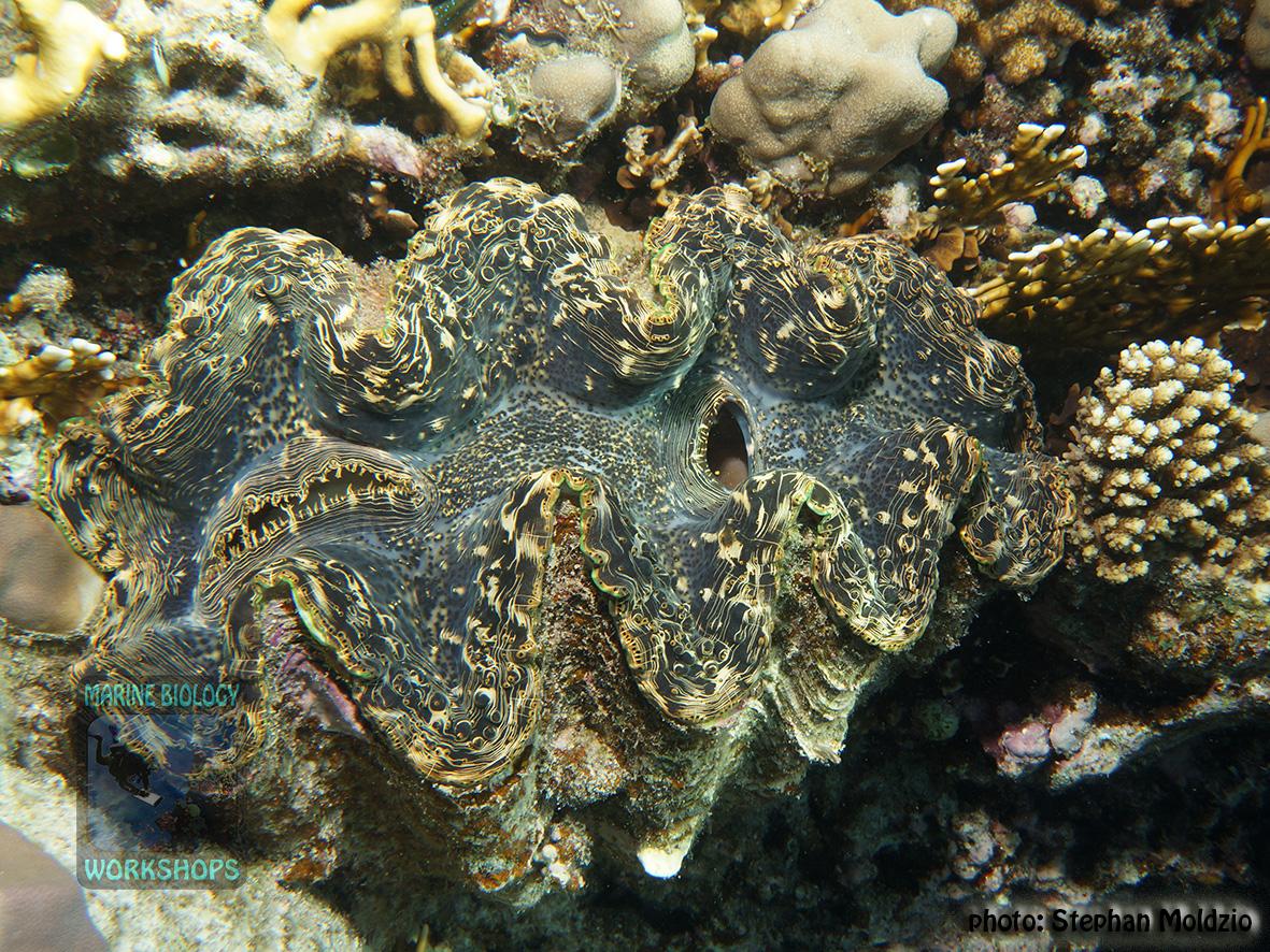 11 Invertebrate survey - Tridacna-costata-40cm DSC04656