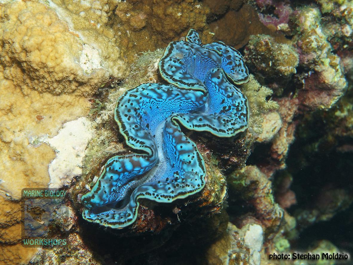 11 Invertebrate survey - Tridacna-maxima DSC04351