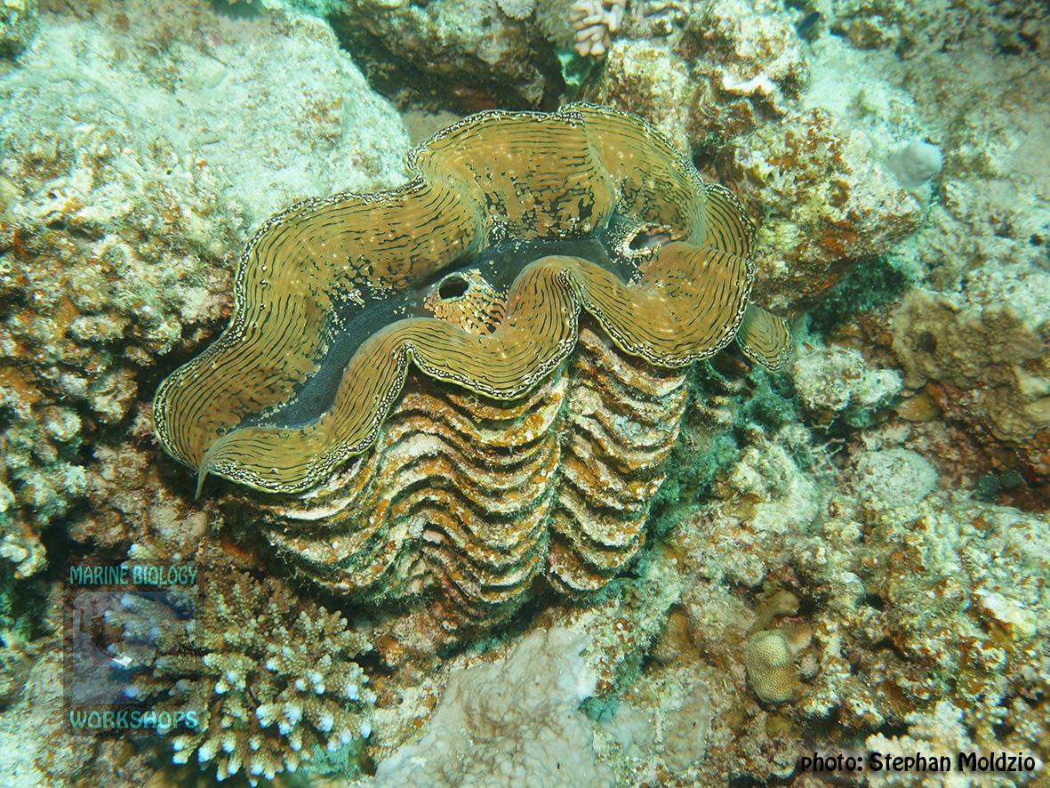 11 Invertebrate survey - Tridacna-squamosa-40cm DSC04648