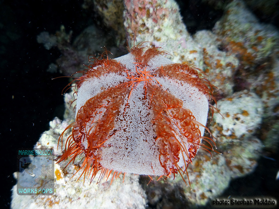 11 Invertebrate survey - Tripneustes gratilla DSC01272