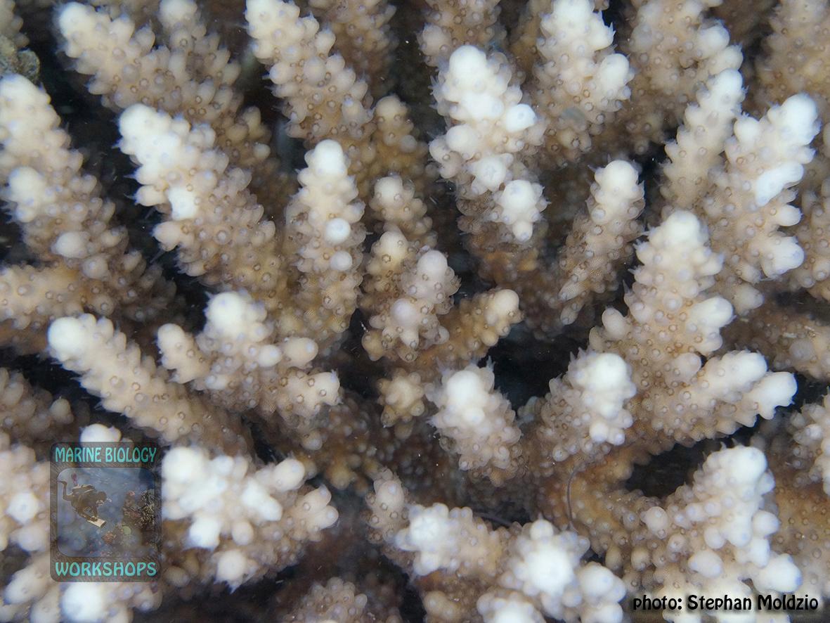 13 Substrate Survey - Acropora sp. DSC05862