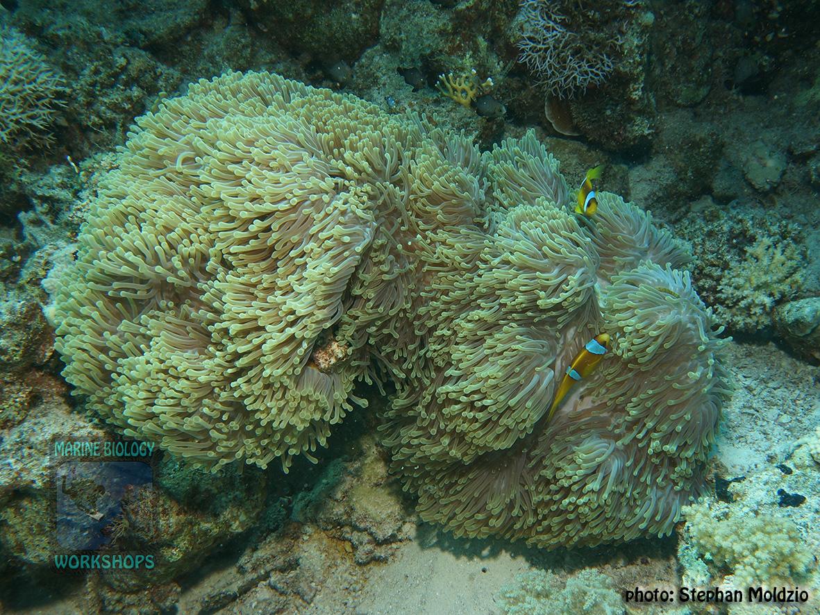 13 Substrate Survey - Heteractis magnifica DSC03688