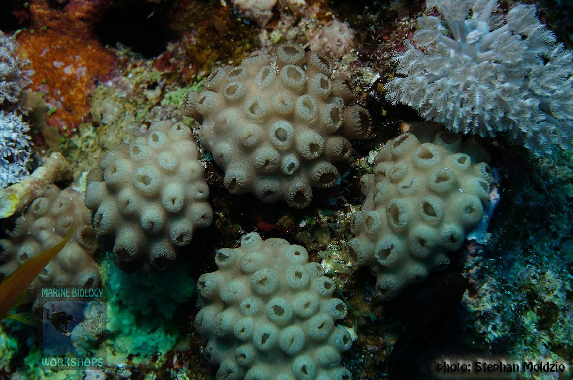 13 Substrate Survey - OT Palythoa tuberculosa DSC05760