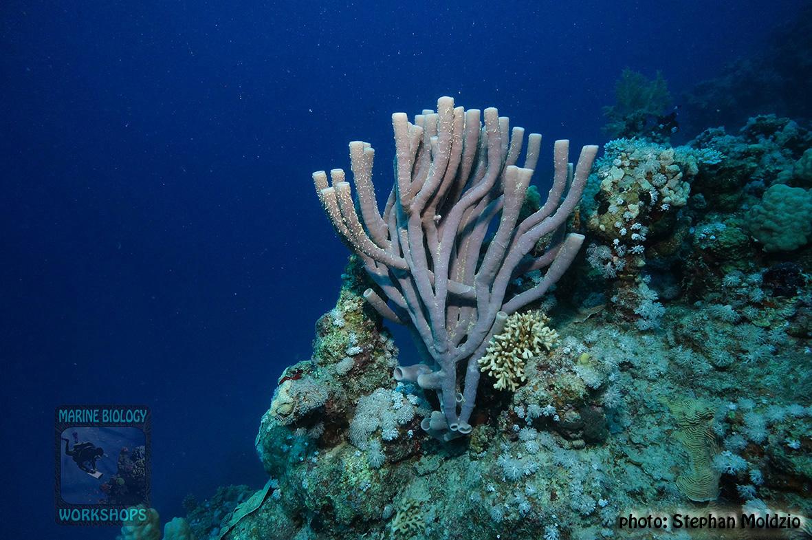 13 Substrate Survey - Siphonochalina siphonella DSC03323