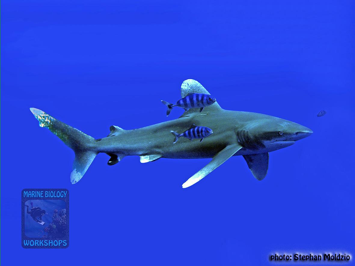 14 Off-transect - Carcharhinus longimanus PB241595