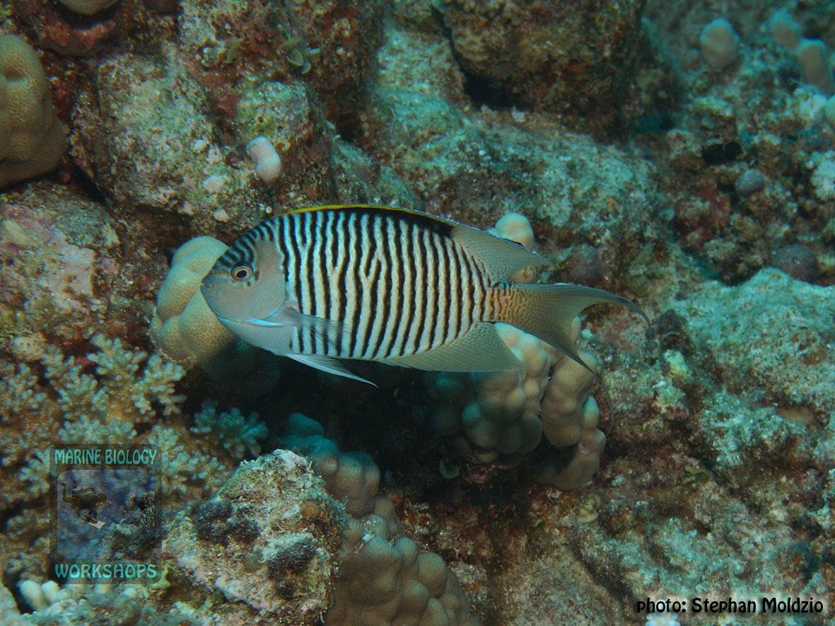 6-DSC05057-Genicanthus-caudovittatus,m