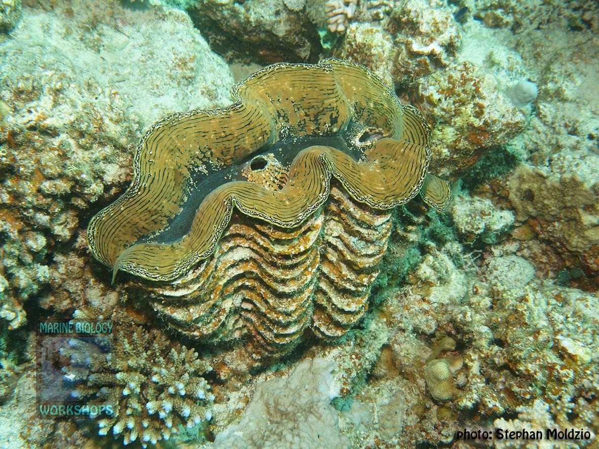7-DSC04648-Tridacna-squamosa-40cm