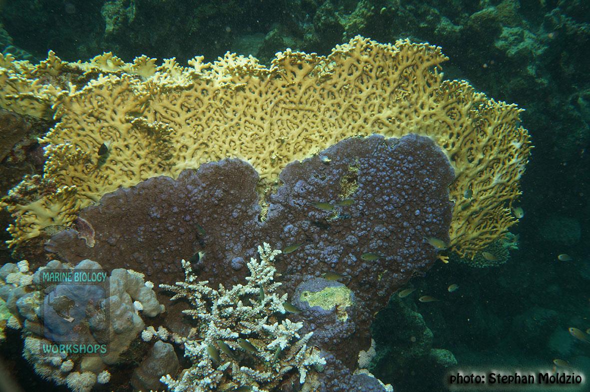8-DSC04793-Montipora-sp.-vs-Millepora-dichotoma