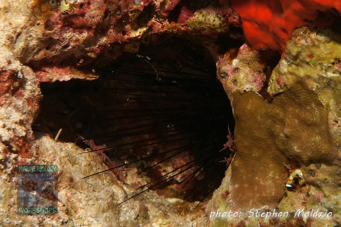 Diadema urchin &  Rhynchocinetes sp.