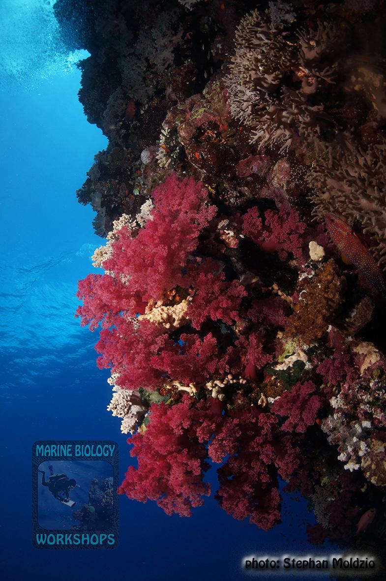 15 Panorama - Habili Nakari Dendronephthya sp. DSC01294