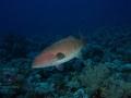 DSC01557 Shaab Sharm Plectropomus pessuliferus marisrubri