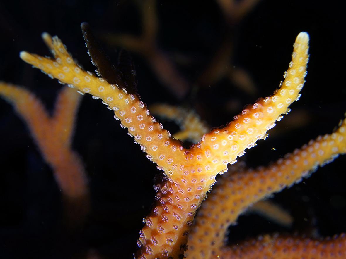3_Seriatophora hystrix `pink´_DSC06523